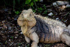 Iggy, the iguana